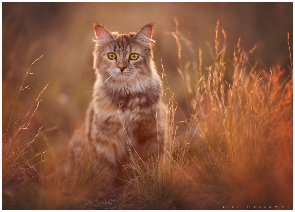 back lit portrait of a beautiful siberian cat with golden eyes taken outdoors in a field near las vegas nv